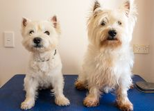Deux chiens de westie de terrier blanc de montagne occidentale sur la table de toilettage Photo stock