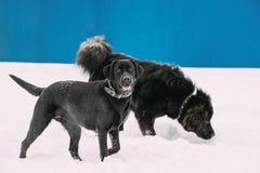 Deux chiens drôles Labrador et Terre-Neuve jouent ensemble extérieur dans la neige à l'hiver Photo libre de droits