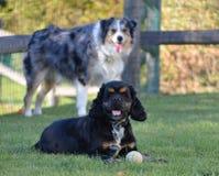 Deux chiens Dugan et bandit Images stock