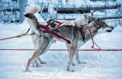 Deux chiens enroués dans la vitesse de traîneau en Laponie finlandaise photographie stock libre de droits