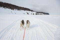 Deux chiens enroués sibériens tirent un sledgeon le rivage congelé de la mer d'Okhotsk photos libres de droits