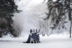Deux chiens ensemble, amitié sur la nature en hiver Photos stock