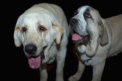 Deux chiens espagnols de mastiff Photographie stock libre de droits