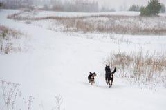 Deux chiens fonctionnant dans le domaine d'hiver Image stock