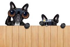 Deux chiens fouineurs photo libre de droits