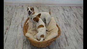 Deux chiens jouant à la maison clips vidéos