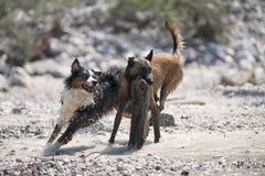 Deux chiens jouant avec du grand bois Images stock