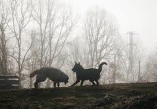 Deux chiens jouant dans la brume au lever de soleil Image libre de droits