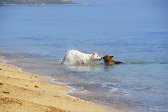 Deux chiens jouant en mer Photographie stock libre de droits