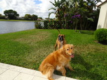Deux chiens jouant et luttant dans la cour Photos stock