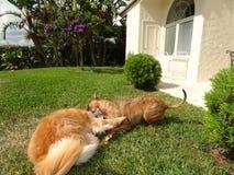 Deux chiens jouant et luttant dans la cour Photographie stock