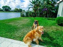 Deux chiens jouant et luttant dans la cour Photo libre de droits