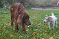 Deux chiens jouant sur une promenade en parc Images stock