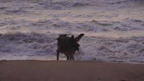 Deux chiens jouent à la côte sur le beack de sable au crépuscule banque de vidéos