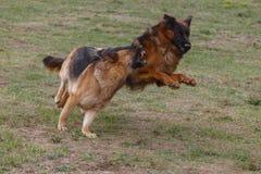 Deux chiens jouent dans le pré image stock