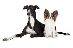 Deux chiens (lévrier de Papillon et de Hort Photos stock