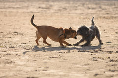 Deux chiens métis jouant ensemble sur la plage Photo libre de droits