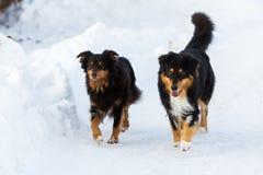Deux chiens marchant dans la neige Photo libre de droits