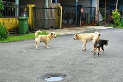 Deux chiens masculins combattant au-dessus d'un chien femelle images stock