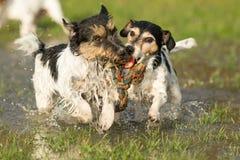 Deux chiens mignons de Jack Russell Terrier jouant et combattant avec une boule dans un magma de l'eau pendant l'hiver snowless photos libres de droits