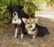 Deux chiens mignons en parc Nous sommes des amis pour toujours Corgi de Gallois Photo libre de droits