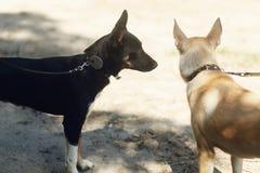 Deux chiens mignons jouant et ayant l'amusement de l'abri dehors en soleil Photographie stock