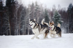 Deux chiens multiplient le Malamute d'Alaska marchant en hiver image stock