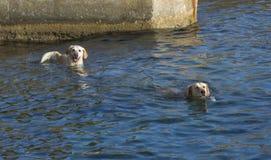 Deux chiens nageant image stock