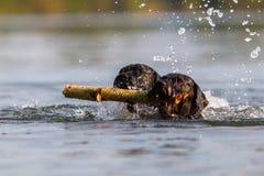 Deux chiens nageant avec un bâton en bois Image libre de droits