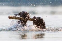 Deux chiens nageant avec un bâton en bois Photo stock