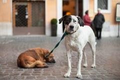 Deux chiens ont attaché la laisse, amis Photographie stock