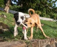 Deux chiens partageant un os images libres de droits
