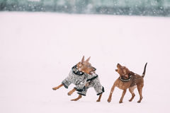 Deux chiens - Pinscher miniature Pincher Min Pin Playing And Running Together de Brown images stock