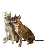Deux chiens regardant une bulle de savon Chien de traîneau d'amitié avec le pitbull Images libres de droits