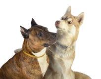 Deux chiens regardant une bulle de savon Pitbull rouge d'amitié avec un chien de traîneau Photo libre de droits