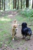 Deux chiens rencontrant une salutation sur le chemin forestier Photos stock