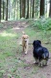 Deux chiens rencontrant une salutation sur le chemin forestier Photographie stock libre de droits