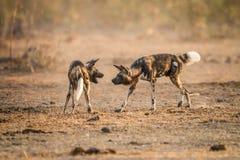 Deux chiens sauvages africains jouant ensemble en parc national de Kruger, Afrique du Sud image libre de droits