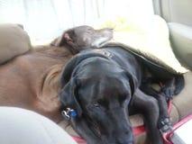 Deux chiens se blottissant dans la banquette arrière de la voiture Photographie stock libre de droits