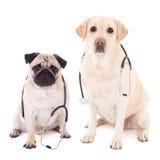 Deux chiens se reposant avec des stéthoscopes sur le blanc Photographie stock