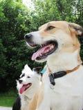 Deux chiens se reposants heureux (1) Image libre de droits