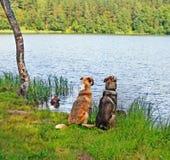 Deux chiens se reposent sur la banque du lac Images libres de droits