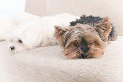 Deux chiens sur le sofa Image stock