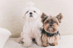 Deux chiens sur le sofa Photo stock