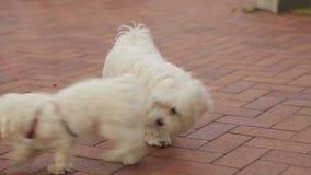 Deux chiens sur une laisse obtenant mise au courant, les gens appréciant la promenade de leurs animaux familiers clips vidéos
