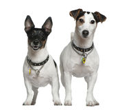 Deux chiens terriers de Jack Russell Photos stock
