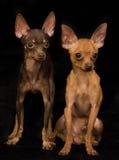 Deux chiens terriers de jouet russes Photo stock