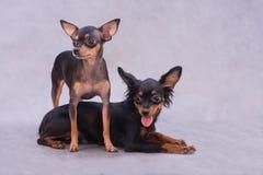 Deux chiens terriers de jouet russes Images stock