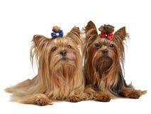 Deux chiens terriers de Yorkshire Image stock
