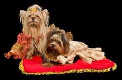 Deux chiens terriers de Yorkshire avec la robe royale image libre de droits